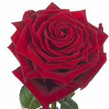 Rose rouge à l'unité